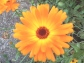 Calendula, copyright 3moonmama, 2013