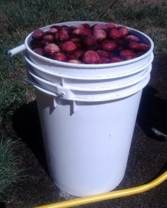 Six Gallons of Plums copyright 3MoonMama